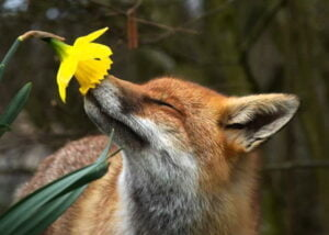 The Nursery Garden Centre Fox Sniffing a Daffodil
