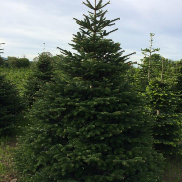 The Nursery Garden Centre Nordman Fir